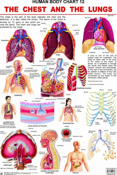 Souq | Human Body Chart : The Chest and the Lungs by Dreamland ...